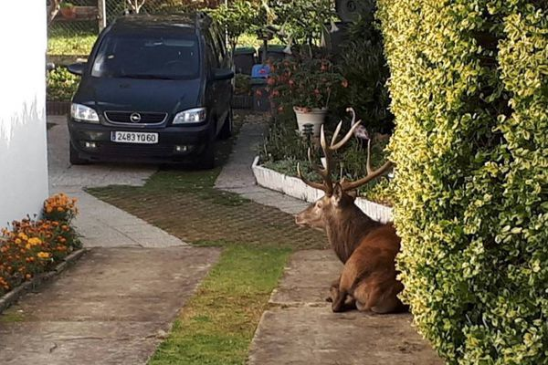 Un chasseur avait abattu un cerf qui s'était réfugié sur une propriété privée, créant la polémique.