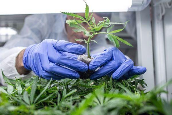 La culture du cannabis thérapeutique en Israël représenterait près d'un milliard de revenus à l'export