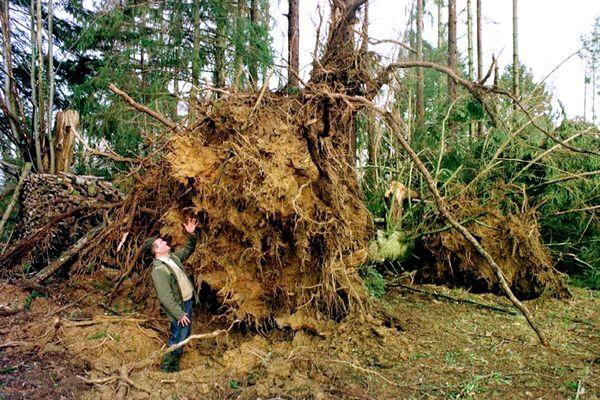 Le 28 décembre 1999 à Boisseul, près de Limoges, la souche d'un pin Douglas de 50 ans, qui mesurait 40 mètres, et qui a été déraciné par la tempête Martin.