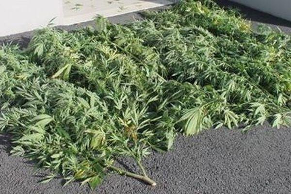 Les neufs plants de cannabis étaient cultivés dans le jardin d'une habitante de Saint-Laurent-sur-Gorre.
