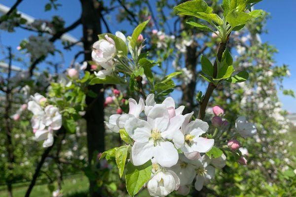 Si la fleur de pommier gèle, pas de fruit