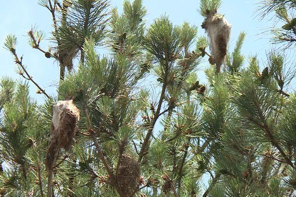 Ces cocons dans les pins sont les témoins du passage des chenilles processionnaires.