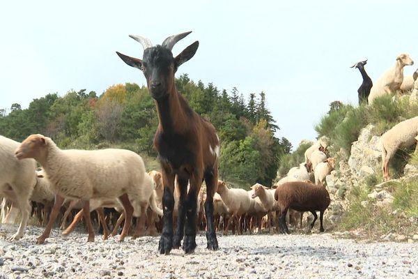 Ce qu'il reste du troupeau de Mickaël Viale, éleveur ovin à Breil sur Roya. Sa ferme est intacte mais elle reste coupée du monde.