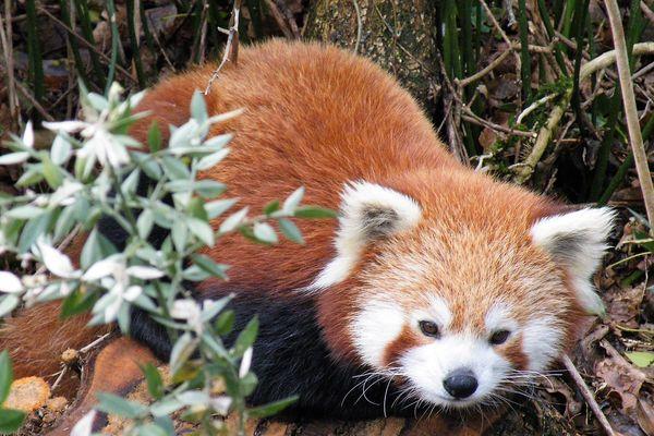 L'un des deux pandas roux accueillis par le zoo de Mervent dans le sud Vendée