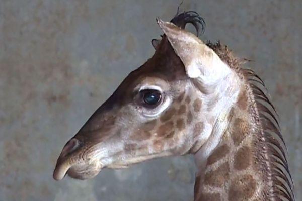 Le girafon était né en décembre 2017.