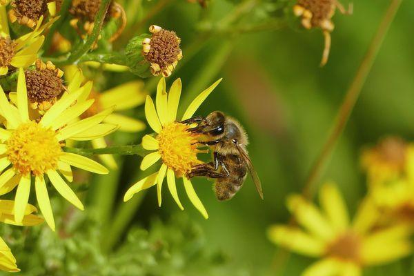 Les populations d'abeilles, le principal insecte pollinisateur, continuent à décliner. Photo d'illustration
