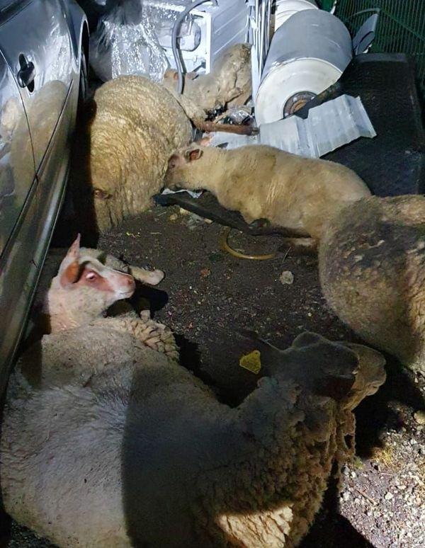 Ces moutons volés lors du week-end de Pâques ont été retrouvés quelques jours plus tard dans un camp Rom de Saint-Herblain.