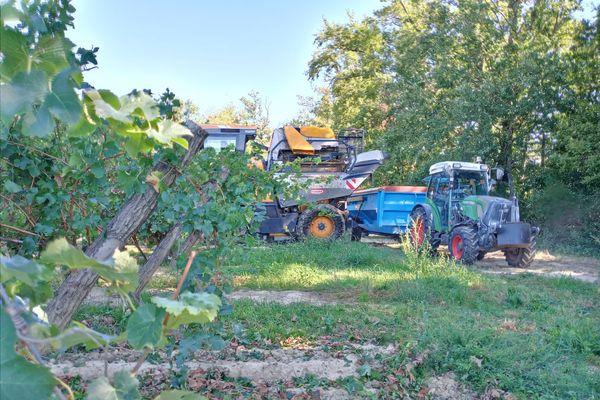 Certains viticulteurs ont commencé à vendanger 15 jours en avance.