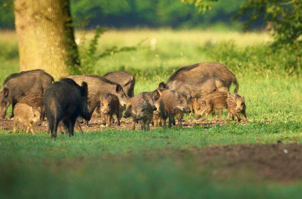 Des sangliers et marcassins sur un site dit d'agrainage en Normandie. Car souvent, les sangliers sont nourris pour éviter qu'ils détruisent les cultures  ce qui accentue aussi la prolifération de l'espèce.  Le nourrissage va-t-il être maintenu pendant le confinement?