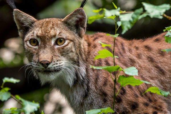 Un lynx boréal dans une forêt du massif jurassien suisse