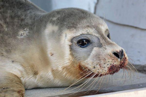La femelle phoque de 3 mois est morte, quelques jours après avoir été frappée à coups de pied par un pêcheur sur la plage de Malo.