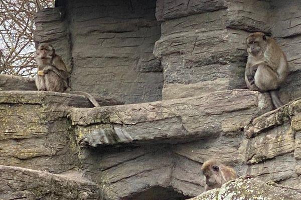 8 macaques de Java vivent encore à la Pépinière.