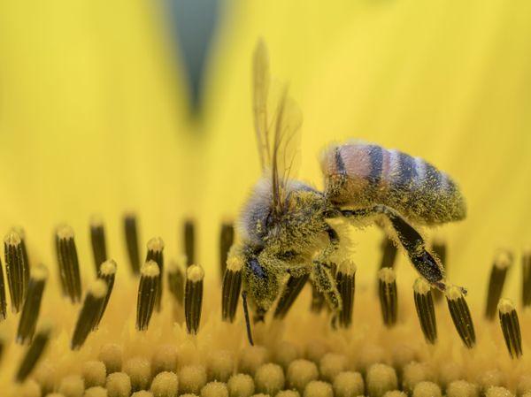 Une abeille domestique butine un tournesol