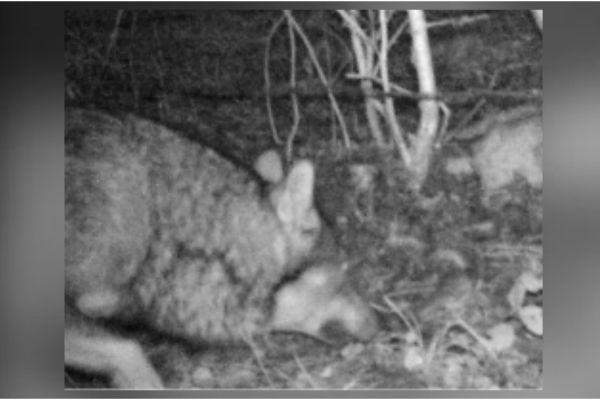 Un loup a été observé dans le canton de Genève début janvier, un première depuis 150 ans.