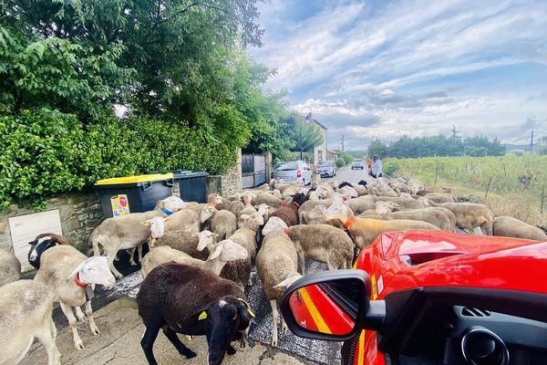 Moutons mis en sécurité par les sapeurs-pompiers de l'Hérault à Vacquières lors de la vigilance orange du 14/09/21