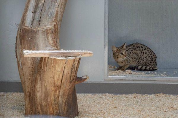 Asrina, cette jeune femelle serval est arrivée fin avril au zoo-refuge La Tanière.