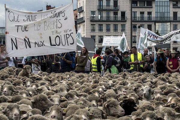 """Les éleveurs manifestent avec leurs animaux à Lyon le 9 octobre 2017 pour attirer l'attention sur les attaques de loups contre les troupeaux de moutons et contre le «plan loups 2018-2023"""" du ministère de l'agriculture."""
