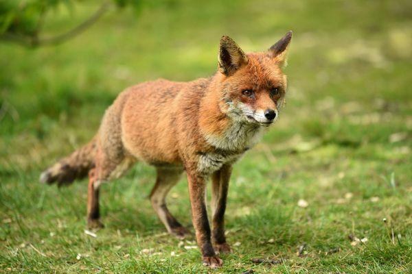 Un renard dans un pré