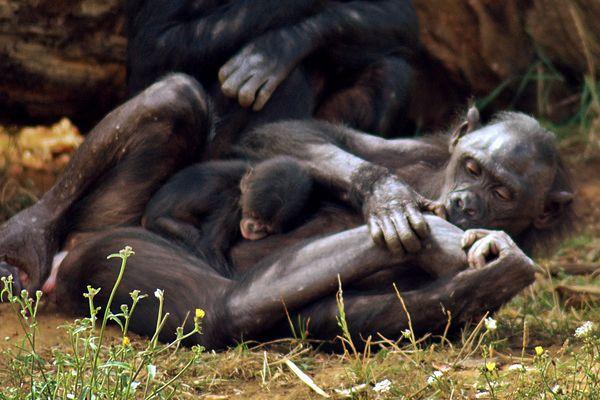 (Photo d'archives) La Vallée des Singes a été le premier zoo français à accueillir la naissance d'un bonobo, le 7 août 2012.