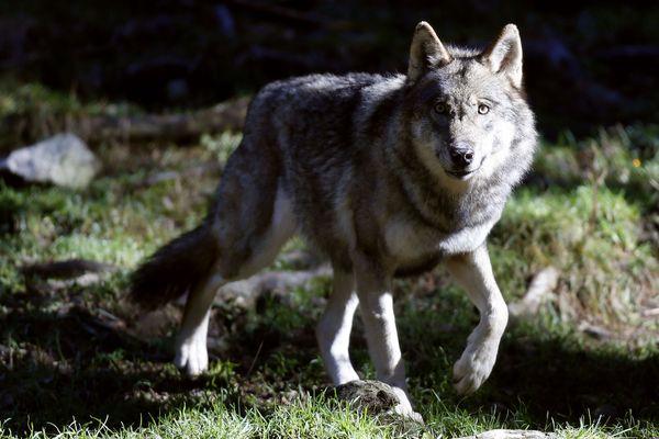 En France, les loups sont présents principalement dans les Alpes et jusque dans le Var, mais aussi dans les Pyrénées-Orientales, l'Aveyron, la Lozère ou les Vosges