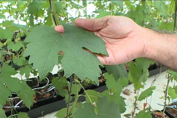 La recherche avance en viticulture : neuf nouveaux cépages résistants viennent d'être homologués par les IGP du Gard.