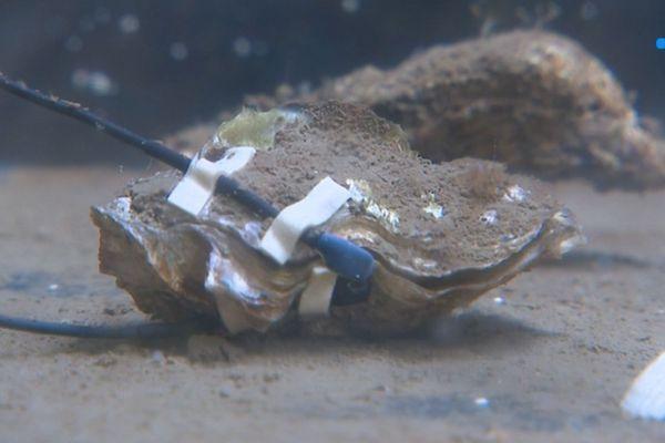 Des huîtres connectées.