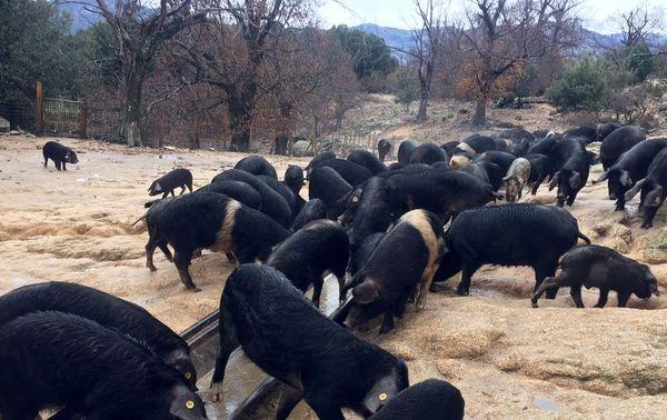 Dans les textes, la PAC n'autorise d'aides financières qu'aux éleveurs porcins, dans le cadre de l'exploitation des châtaigneraies et des chênaies. Dans les faits, ce n'est pas si simple...