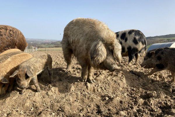 Le Mangalitza, cochon laineux, promet une viande de qualité. Les Turgis ont fait le pari des cochons rustiques.