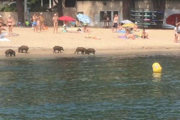 Des sangliers sur la plage de la Garonette à Sainte-Maxime, dans le Var.