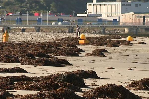 """Ces algues brunes, ou """"haricots de mer"""", tapissent certaines plages de la Côte d'Opale."""