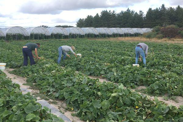 Des surfaces maximum d'1,5 hectares par producteur de cornichons
