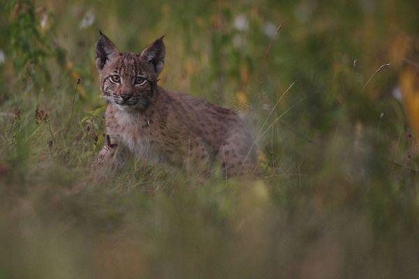 La première rencontre avec un bébé lynx.
