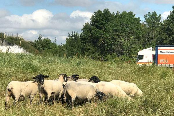 Les moutons pâturant le long de la RN11 dans les Deux-Sèvres.