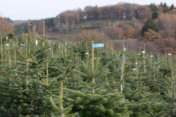 Une plantation de sapins de Noël dans le Morvan.