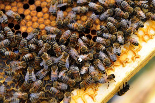 Illustration d'abeilles au congrès national des apiculteurs - Puy de dome le 23 sptembre 2016