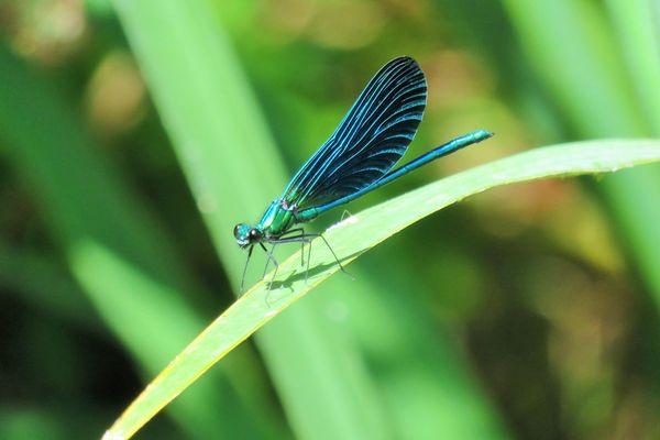 Une libellule bleue en été...