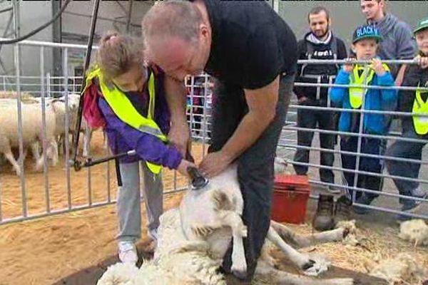 Séance de tonte de moutons pour les scolaires sur le plateau de Frescaty ce vendredi.