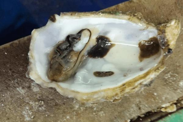 """""""Ces organismes sont observés sur et à l'intérieur des huîtres moribondes ou mortes, ainsi que sur les grappes de moules colonisant les poches et les piquets de bois (pignots) marquant la limite des parcs"""", rapporte la note de l'Ifremer."""