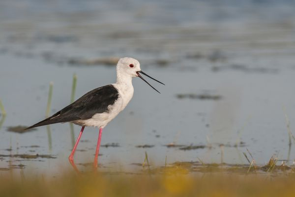 Échasse blanche (Himantopus himantopus - Black-winged Stilt) en Baie de Somme