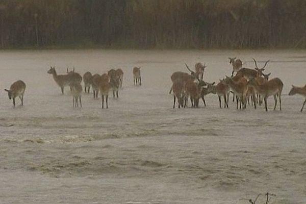 Sigean (Aude) - les animaux de la réserve africaine prisonniers des eaux - 6 mars 2013.