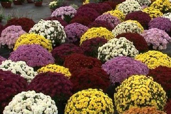 Les chrysanthèmes fleurissent traditionnellement les tombes à la Toussaint.