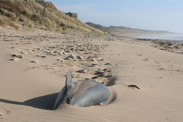 Un dauphin commun échoué