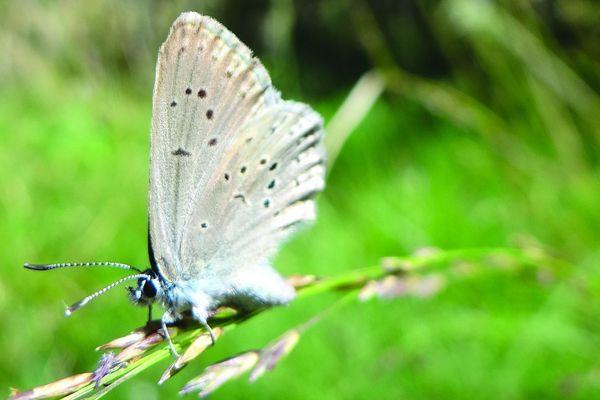 Avant de devenir adulte et de vivre sa courte vie de papillon en plein air, l'azuré des mouillères aura passé des mois sous terre à profiter de l'hospitalité de colonies de fourmis.