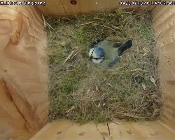 Maman mésange bleue couve un œuf sous l'œil de la caméra installée dans un faux plafond.