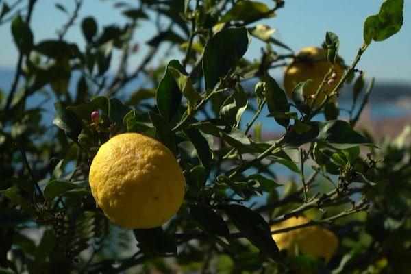 L'histoire du citron de Menton dans le magazine Mediterraneo, sur France 3 Provence-Alpes Côte d'Azur.