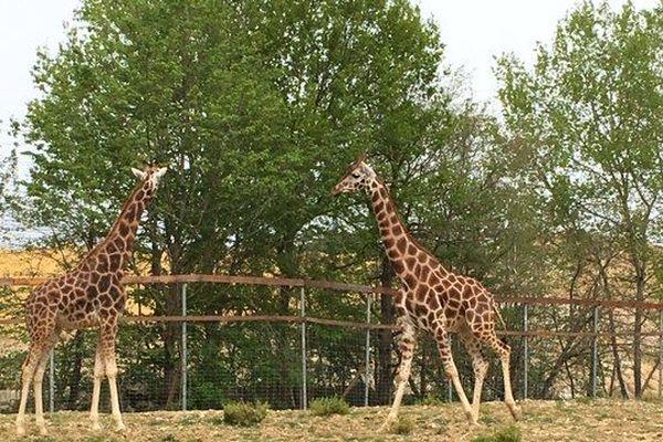 Deux girafes mâles viennent de rejoindre le parc de Férolles-Attilly.