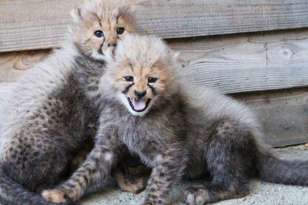 5 bébés guépards sont nés au Safari Parc de Port-Saint-Père en Loire Atlantique