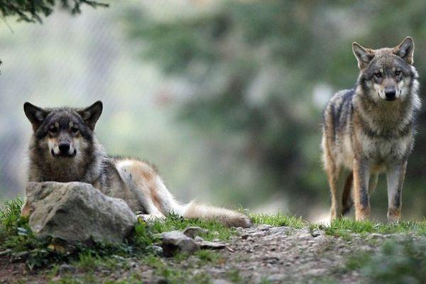 Loups dans le parc du Mercantour