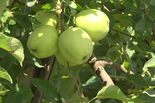 Ces pommes golden bio du Limousin ne seront prêtes pour la consommation qu'à l'automne...