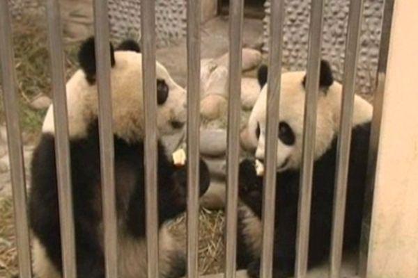 Huan Huan, la femelle du couple vedette de panda du zoo de Beauval pourrait être enceinte !